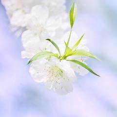 White Sakura (inhiu) Tags: light flower nature beautiful sakura dreamy inhiu