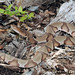 Agkistrodon contortrix contortrix (Southern Copperhead)