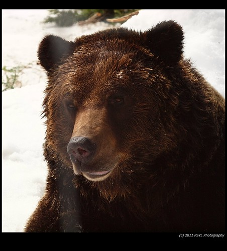 Coola, the orphaned Grizzly