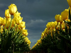 Yellow tulips (Frans.Sellies (off for a while)) Tags: flowers flower yellow tulips yellowflowers tulpen  tulipes tulipanes   tulipani laleler       p1300702