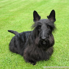 Rasmus posing after todays visit to the hairdresser (Lars Odemark) Tags: sweden scottish terrier grooming hairdresser rasmus helsingborg cissis hljarp hundtrim
