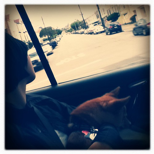 taro shiba, napping in tra's arms in a car in san francisco