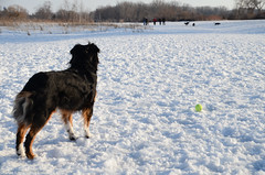 Get in the game here, gang! (NetAgra) Tags: blue trees winter dog snow ball jan canine chase catch jilly aussie dogpark tamron australianshepard nikond7000