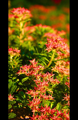 Stonecrop (Pat Kilkenny) Tags: pink red summer hot flower green yellow canon succulent bright may 2008 brilliant stonecrop canon40d patkilkenny