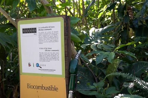 Castor bean plants might be useful as bio-diesel fuel