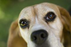 Carlitos (dongraft) Tags: dog pet beagle animals amigo friend perro carlitos mascota