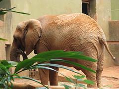 ZOO - SP (Micael Duarte) Tags: elephant zoo sp animais tigre elefante camelo tucano hipopotamo zoologico