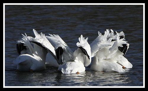 White Pelicans in synchronized feeding
