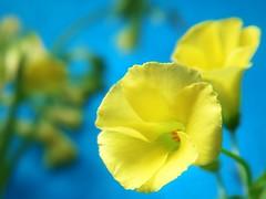 Oxalis (tanakawho) Tags: blue plant flower macro yellow stem dof bokeh small center petal stamen bud pollen oxalis bg tanakawho goldstaraward