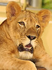mama... i miss you (tropicaLiving - Jessy Eykendorp) Tags: wild portrait animal closeup indonesia sad expression chibi lion endangered ef70300mmf4056isusm canoneos50d tropicaliving jessyce tropicalivingtropicalliving