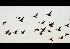 Geese in Flight [letterbox] (mightyquinninwky) Tags: bird birds fauna geotagged flying geese inflight kentucky waterbird aves goose ave letterbox waterfowl naturesbest waterbirds lateafternoon settingsun westernkentucky cinemascope naturesart unioncountykentucky flickrgreen thecommonwealthofkentucky thebluegrass geo:lat=37703542 geo:lon=87904363