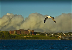 Low Level Fly By (Dave the Haligonian) Tags: lake bird forest fire harbor flying waterfront harbour seagull gull smoke halifax porters lakeecho lowlevelflyby dsc2907nef