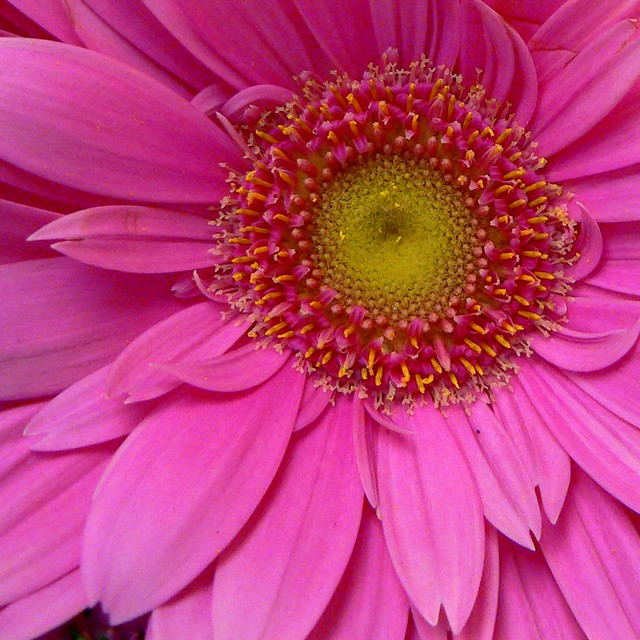 Gerbera Sunrise