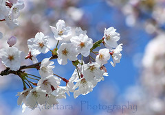 ~Remembering  Japan~ (Adettara Photography) Tags: flowers blue sky white japan spring 300mm hana memory cherryblossom sakura kanagawa soe kanto yokosuka lightpink naturesfinest blueribbonwinner supershot explore12 golddragon abigfave canoneosdigitalrebelxti platinumphoto anawesomeshot impressedbeauty ultimateshot diamondclassphotographer flickrdiamond citrit brillianteyejewel betterthangood goldstaraward adettara happymondayblues ~rememberingjapan~