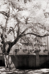 Parking Lot Tree (Jamie Powell Sheppard) Tags: blackandwhite bw tree art film fence ir photo parkinglot florida fineart canonae1program staugustine sepiatone 50mmlens 35mmslr femalephotographer hc110dilb woodeffect 29darkredfilter kodakhiebwinfrared