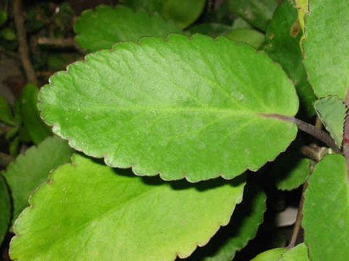 Bryophyllum Pinnatum Photos Of Teenagers