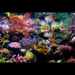 Coralreef Tank (Alli Jiang) Tags: ocean life blue sea fish beautiful animal aquarium marine colorful aqua soft underwater tank pacific wave science longbeach dreamy organic creature alli coralreef allijiang
