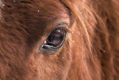 Country Western Snow Flake (Johny Day) Tags: horse caballo cheval cappuccino 70300mm blueribbonwinner mywinners abigfave johnyday anawesomeshot diamondclassphotographer johnyday explore2009 clubequestrechanteclerccom