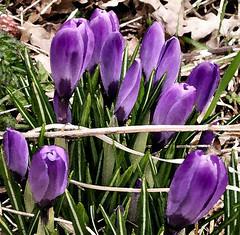 Crocus (Jennie Anderson) Tags: flowers winter wild green nature spring purple crocus mauve jennieanderson