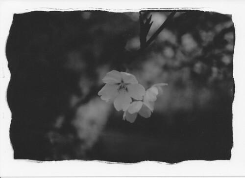 090417天童 桜 IMG