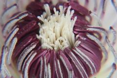sequenza 1 (antonello.tommy) Tags: italy canon italia fiore viola colori iek antonello sequence1 pistilli eos400d colourartaward mimamorflowers sequenza1
