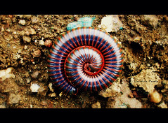 Millipede (D a r s h i) Tags: trip bug circle insect coin legs round worm creature millipede pune outing shrinked thousandlegged ghorwadeshwar pcacircle