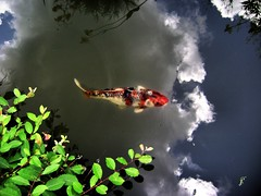 koi in the sky (moocatmoocat) Tags: sky cloud fish fern reflection pond pennsylvania moo koi carp 23 chanticleer