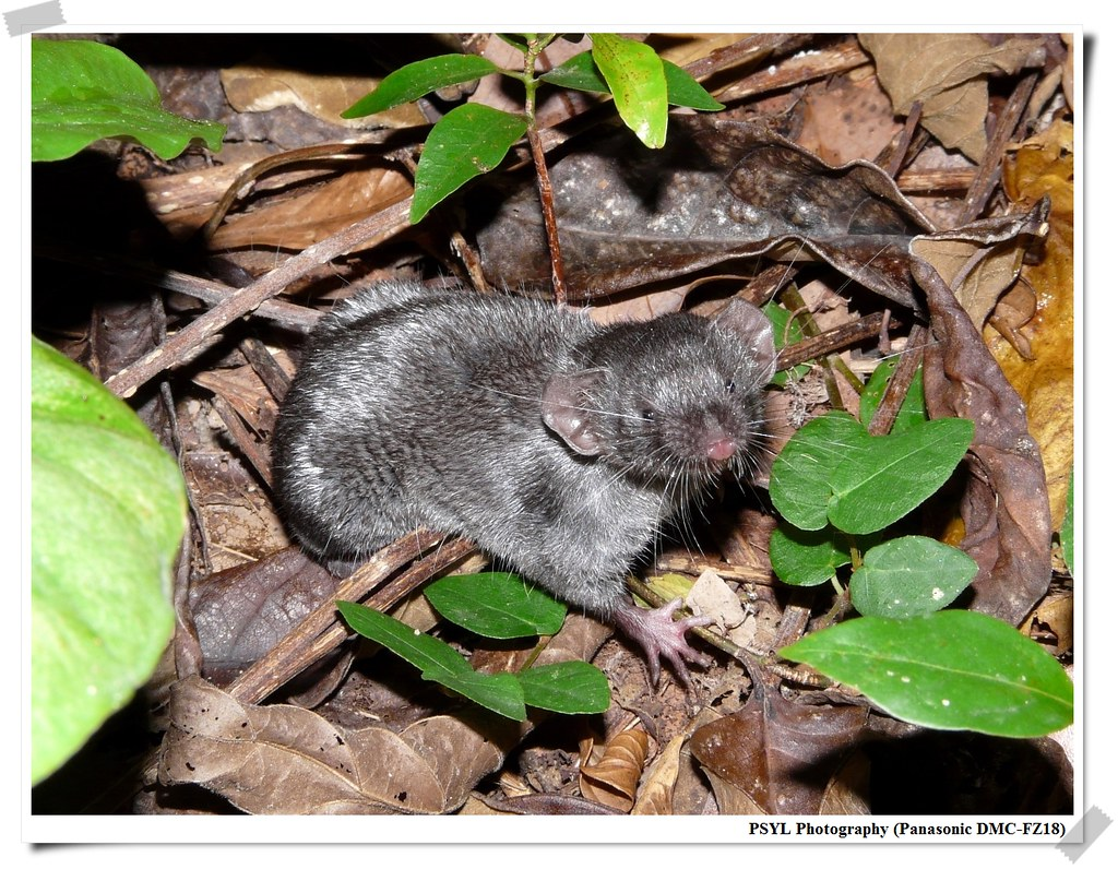 Asian House Shrew (Suncus murinus) - 臭鼩