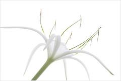 Cahaba Lily - IMG_5870 (Bahman Farzad) Tags: macro water high key waterlily lily alabama highkey hikey cahaba cahabalily