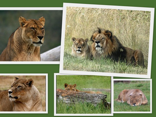 Lion Collage 2