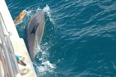 DSC_0158 (mjmermis) Tags: hawaii dolphins kauai napalicoast