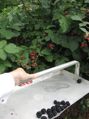 A large hod makes it easier to pick blackberries and prevent them from bruising.