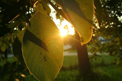 sunset between leaves