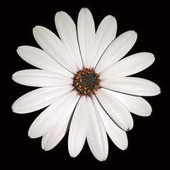 White African Daisy (Round) (Stephoto1000) Tags: sanfrancisco flowers white flower daisies garden whiteflower gardening daisy africandaisy