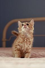 Kitten. (claudia.susana) Tags: cute cat bed bedroom furry kitten soft little fuzzy tail small blonde blondie swishy claudiasusana