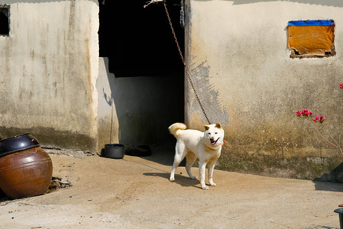 Photo of the Day:  Village Jindo Gae
