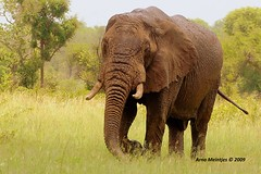 Rainy day (Arno Meintjes Wildlife) Tags: africa park camp wallpaper elephant nature poster bush wildlife safari explore louise rsa krugernationalpark mpumalanga krugerpark kruger africanelephant knp loxodontaafricana africanbushelephant meintjes arnomeintjes louisemeintjes