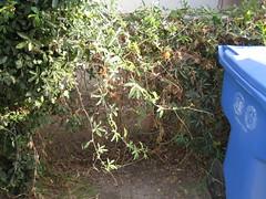 IMG_3975 (gfixler) Tags: flower fruit vine passiflora passionflower passionfruit passifloracaerulea passionvine passionflowervine bluepassionflower