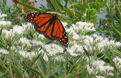 Migrating Monarch butterfly (kjimbo) Tags: birding westernpennsylvania platinumheartaward 100commentgroup