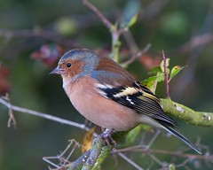 Chaffinch (Andrew Haynes Wildlife Images) Tags: male bird nature yellow rugby wildlife warwickshire avian chaffinch canon40d ajh2008