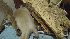 Pua plays with a log