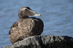 Neither in Netherlands / 3 (ignicapillus) Tags: wild lake bird water birds animal rock duck wildlife birding aves birdwatching comolake lagodicomo anatidae commoneider somateriamollissima edredone