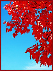 Red (OldGuy2008) Tags: blue red sky fall leaves contrast autum 1001nights naturesbest vividcolor diamondheart anawesomeshot colorphotoaward yourbestshot heartawards allkindsofbeauty mastersoflight thebeautyoftrees damniwishidtakenthat colorphotoawardpremier artofimages realgem