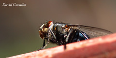 Fly (David Cucaln) Tags: macro 35mm insect fly olympus zuiko mosca insecte insecto e510 fotocommunity cucalon davidcucalon