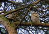 Three Tawny Owl Chicks
