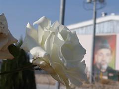 Flower in Afghanistan (Brandon Kopp) Tags: afghanistan flower macro sony dscf828