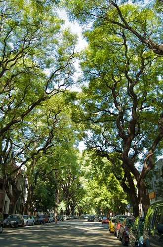 Calle Honduras shaded by the towering Tipas (by blmurch)