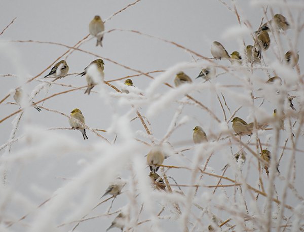 goldfinches in a frosted willow