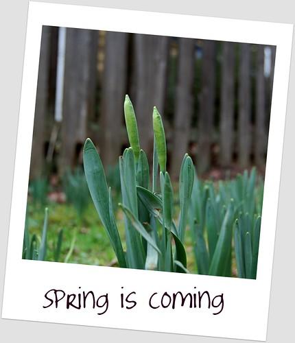 Daffodils - almost