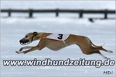 Winter-Schnee-Windhund-Coursing: Whippet